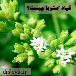 گیاه استویا چیست؟